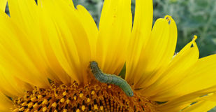 Green worm eating sunflower pedal Royalty Free Stock Photography