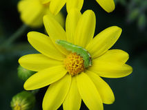Green worm eating on the top of a yellow flower in the spring royalty free stock images