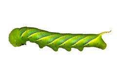 Green Worm Royalty Free Stock Photos