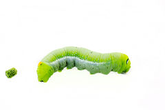 Green worm Royalty Free Stock Images