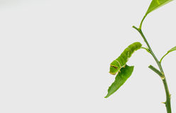 Green worm isolated Royalty Free Stock Photography