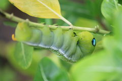 Green worm. He larva of a butterfly or moth, having a segmented worm like body with three pairs of true legs and several pairs of leg like appendages Stock Images
