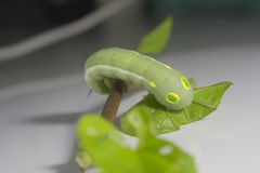 Green worm with leaves Royalty Free Stock Photo