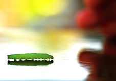 Green worm , larva autographa gamma. Lonely green worm walking with mirror effect and background Royalty Free Stock Photos