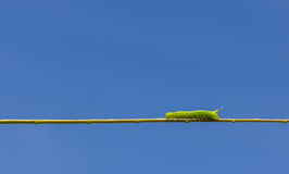 Green worm. A green worm on plant Royalty Free Stock Photos