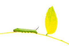 Green  worm   on plant stick on white background . Royalty Free Stock Image