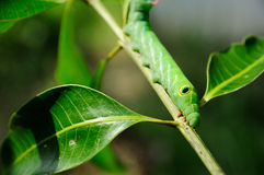Green worm walk on branch Royalty Free Stock Photos