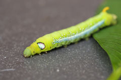 Green worm, Worm the caterpillars on green leaf. royalty free stock images