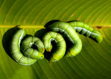 Green worms Stock Images