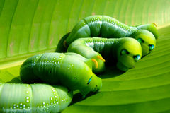Green worms Royalty Free Stock Photo
