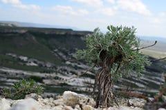 Green wormwood grew among rocks and mountains Royalty Free Stock Image