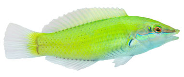 Green Wrasse. Halichoeres chloropterus Stock Images