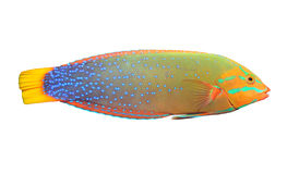 The Green Wrasse (Thalassoma Lunare). Stock Photography
