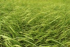 green wysokiej trawy Fotografia Stock
