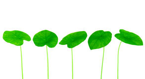 Green yam leaf collection Royalty Free Stock Image
