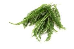 Green Yarrow Stock Image