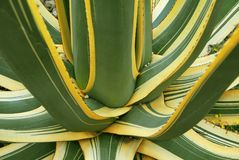 Green yellow agave Succulent Plant Royalty Free Stock Photo