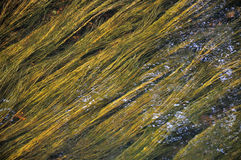 Green and yellow algae under watter. Taken in some irish lake Stock Image