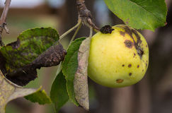 Green and yellow apple on tree.  Stock Images