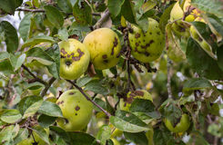 Green and yellow apples on tree.  Stock Image
