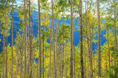 Green Yellow Aspen Trees Stock Image