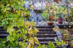 Green and yellow autumn leaves royalty free stock images