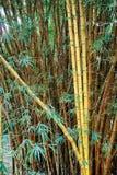 Green yellow bamboo bush Stock Photography