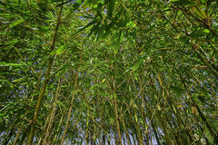 Green and yellow bamboo forest. Green and yellow bamboo plants growing towards the sky. Grown in Asian tropical climates but as well as in Australia Stock Photo