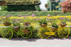 Green and yellow bicycles decorated with colourful flowers in the pots Royalty Free Stock Image