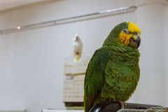 Green-and-yellow big parrot stock images