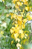 Green yellow birch. Autumn photo of a birch with green and yellow leaves in soft focus Stock Photo