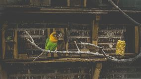 Green and Yellow Bird on Tree Branch royalty free stock images