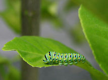 Caterpillar larvae on a leaf Royalty Free Stock Image