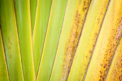 Close up of dry palm leaf as abstract background. Royalty Free Stock Image