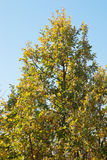 Green - yellow  branches oak and blue sky Royalty Free Stock Images