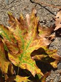 Green, yellow, and brown leaf on sidewalk Royalty Free Stock Photos
