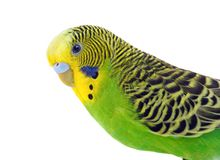 Green and yellow budgie Stock Images
