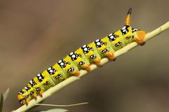 Green yellow butterfly caterpillar climbing on a plant Stock Image