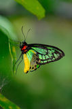 Green-and-yellow butterfly. On the leaf Royalty Free Stock Image