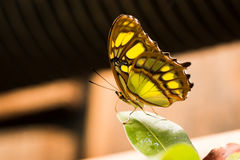 Green and yellow butterfly resting on a leaf. The wings show the patterns really well stock image