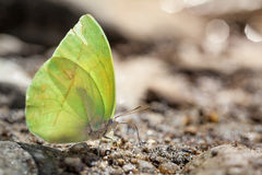 Green and yellow butterfly on stone river Stock Photo