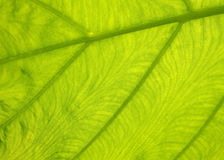 Green with yellow Caladium leaf6 Royalty Free Stock Photography