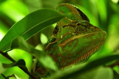 Green and Yellow Chameleon Close Up Photography Stock Photo