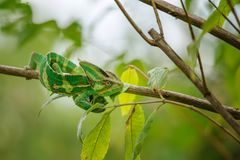 Green and yellow chameleon from front top view in tree branch Royalty Free Stock Photo