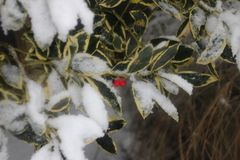 Green yellow colored holly with red berries and snow on it.  Royalty Free Stock Image