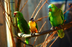 Green and yellow colored parrots on branch. Stock Photos