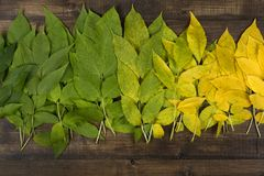 Autumn leaves of different colors on a brown wooden surface. Green, yellow, colorful leaves on a dark brown wood surface Royalty Free Stock Images