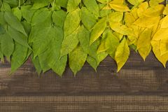 Autumn leaves of different colors on a brown wooden surface. Green, yellow, colorful leaves on a dark brown wood surface Royalty Free Stock Photos