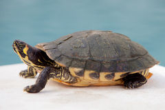 Green and yellow common turtle Stock Photography