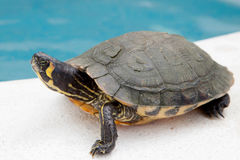Green and yellow common turtle royalty free stock image
